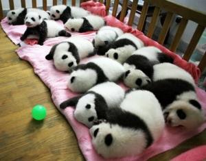 1317211009-baby-pandas-nap-time
