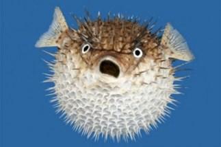 puffer-fish2