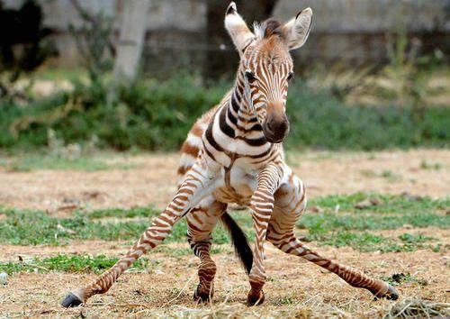 zebrawalking